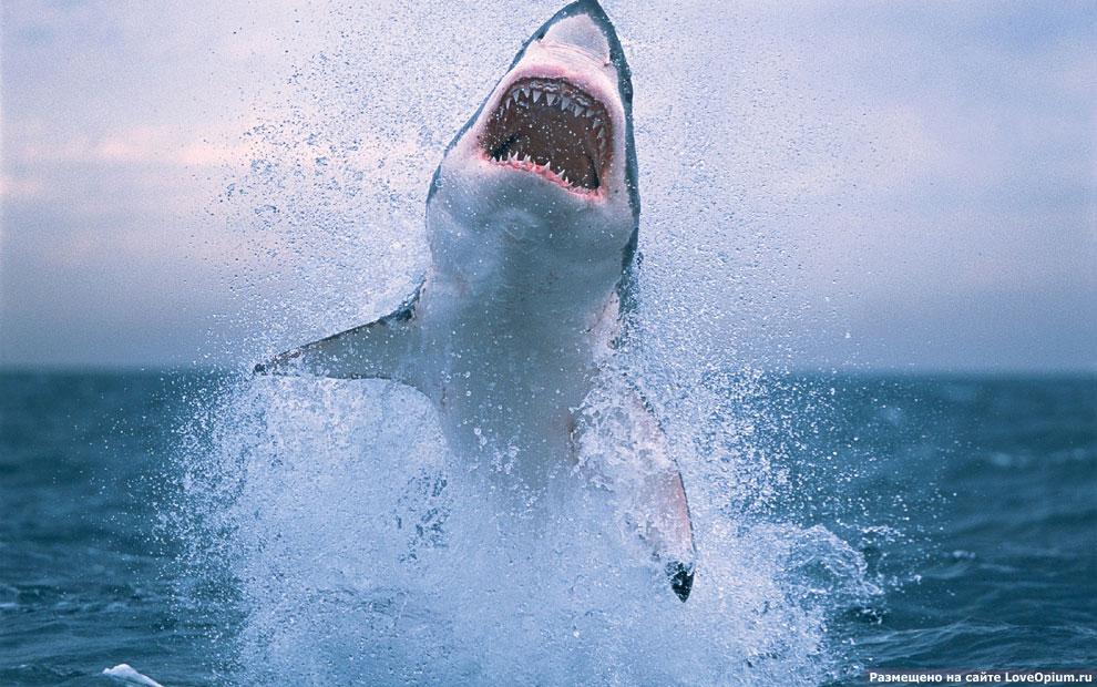 самой большой белой акулы