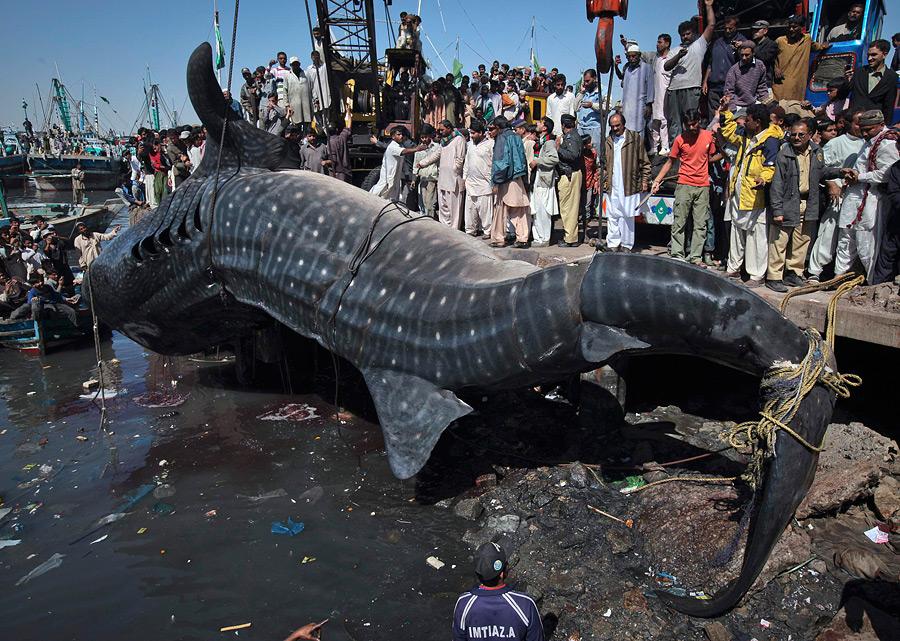 Картинки по запросу самая большая акула в мире фото