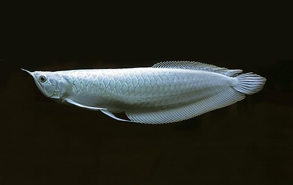 Самая дорогая рыба в мире. Платиновая арована. Фото
