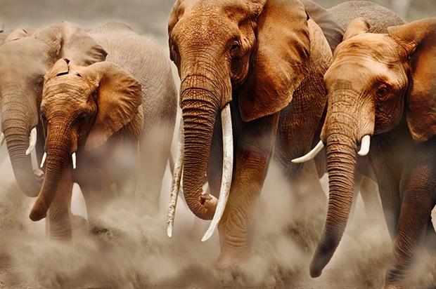 Чего боится африканский слон? Фото
